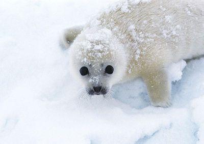 摄影-可爱的白海豹