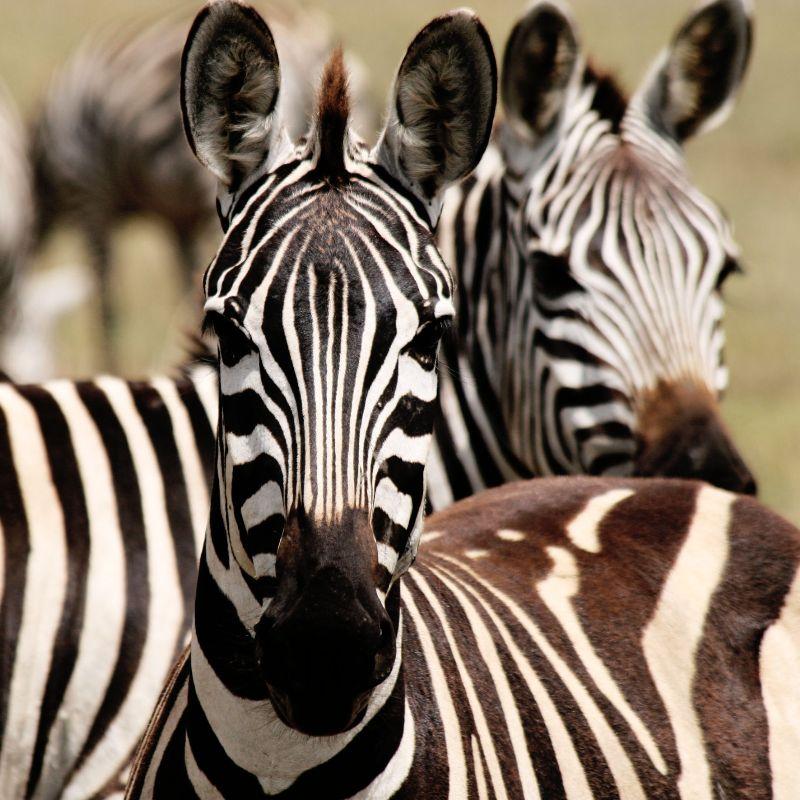 简约画-斑马装饰画 动物世界